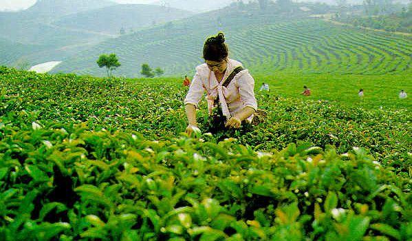50 г здоровья чисто органических матча порошок зеленого чая + 1 * бамбук chasen взбейте 03 для подготовки матча