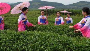 чайный туризм